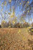 Birch trees in autumn Royalty Free Stock Photo