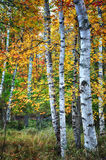 Birch trees in Autumn season Stock Image