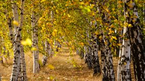 Birch tree alley, birch trees at autumn stock photos