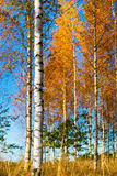 Birch trees in autumn Stock Image