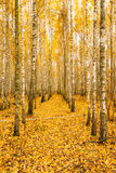 Birch Trees In Autumn Woods Forest. Yellow Foliage. Russian Forest Royalty Free Stock Photos
