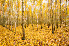 Birch Trees In Autumn Woods Forest. Yellow Foliage. Russian Forest Royalty Free Stock Image