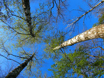 Birch trees on the background of the spring sky - view from belo. W royalty free stock photo