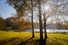 Birch trees with backlight Royalty Free Stock Photo