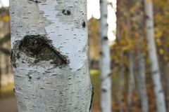 Birch trees with bark in forefront. A small birch tree forest blurred by depth of field and a single trunk in the foreground with bark in focus stock photo