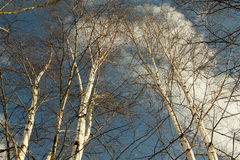 Birch trees Stock Photography