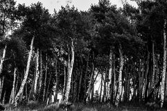 Birch Trees Blacl and White Royalty Free Stock Image