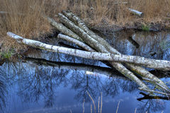 Birch trees in a bog at Winterswijk in Netherlands Royalty Free Stock Image