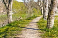 Birch trees bordering country road near field of daisies and dan Royalty Free Stock Photography