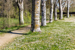 Birch trees bordering country road near field of daisies Stock Image