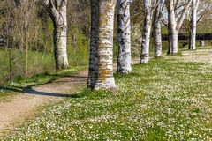 Birch trees bordering country road near field of daisies Stock Photo