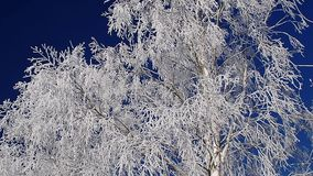 Birch trees branches against deep blue sky stock video footage