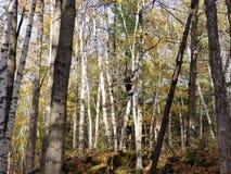 Birch trees, broken down tree house stock photo