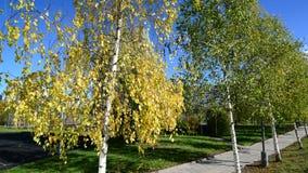 Birch trees in city park in district Zelenograd, Russia stock video footage