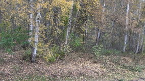 Birch trees by the clearing with falling leaves. In the autumn forest stock video