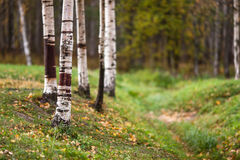 Birch trees in a clearing. Trunks of birch trees in autumn in a clearing in the woods stock photography