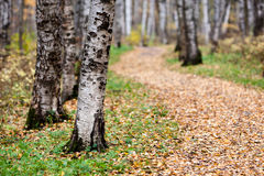 Birch trees in a clearing. Trunks of birch trees in autumn in a clearing in the woods royalty free stock photo