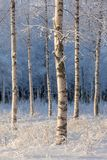 Birch trees on a cold winter day royalty free stock photography
