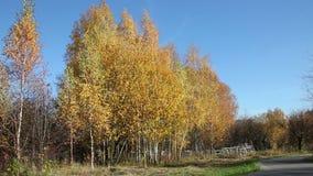 Birch trees countryside over a deep blue sky. Birch trees countryside view with a yellow autumn foliage over a deep blue sky stock video footage