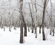 Birch trees covered with hoarfrost Royalty Free Stock Image