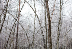 Birch trees covered with hoarfrost Stock Photos