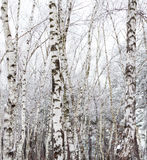 Birch trees covered with hoarfrost Stock Images