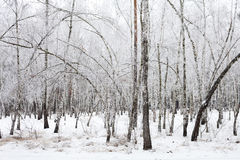 Birch trees covered with hoarfrost Stock Image