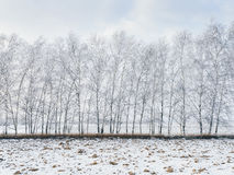 Birch trees covered with snow Stock Photo
