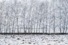 Birch trees covered with snow Royalty Free Stock Photo