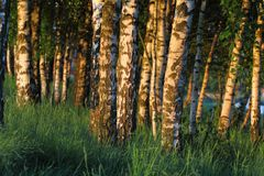 Birch trees in the dawn Stock Photography