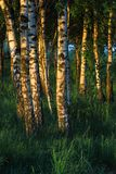 Birch trees in the forest Royalty Free Stock Photo