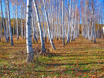 Birch trees and deep blue sky Royalty Free Stock Images