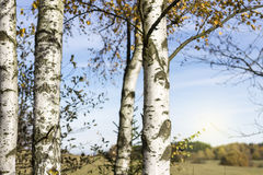 Birch Trees Detail. Autumn Background with Blue Sky royalty free stock images