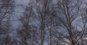 Birch trees and drifting clouds at sunset. Getting dark stock video footage