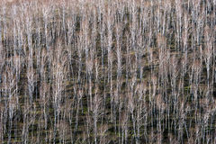 Birch trees in early spring Royalty Free Stock Photography