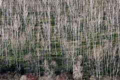 Birch trees in early spring Stock Photos