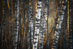 Birch trees in evening light Stock Photo