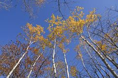 Birch Trees in Fall Colors. In Afton State Park in Minnesota stock photos