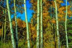 Birch trees and fall colours. In a forest, Alberta, Canada Stock Photography