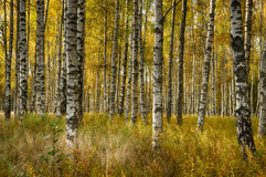 Birch trees in fall. Vibrant birch forest in fall Stock Images