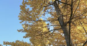 Birch trees in the fall. Yellow birch leaves in the light of the morning sun in the city park of South Butovo stock footage