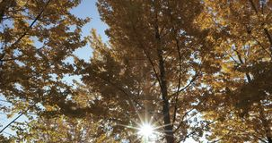 Birch trees in the fall. Yellow birch leaves in the light of the morning sun in the city park of South Butovo stock video footage