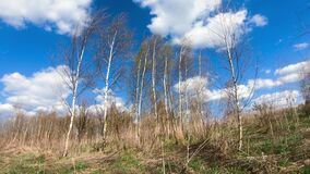 Birch trees on field in spring time