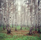 Birch trees in the fog Stock Photography