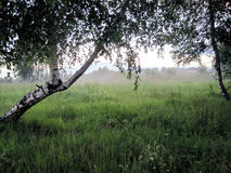 Birch trees in fog. Beautiful birch trees in fog at the field Royalty Free Stock Photos