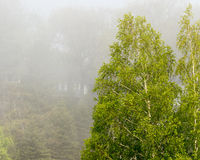Birch Trees with Fog Grand Haven Michigan Stock Photo