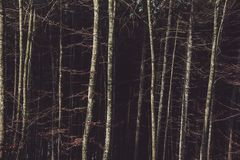 Birch Trees on the Forest Royalty Free Stock Image