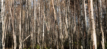 Birch trees in forest. Stock Photo