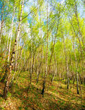 Birch trees forest Stock Photos