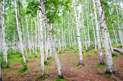 Birch trees forest Stock Photography